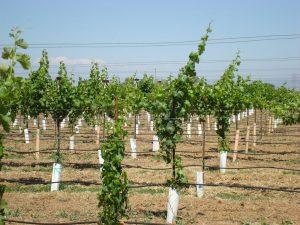 About Mio Vigneto - The Vineyard