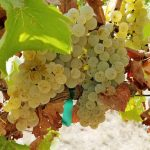 Ribolla Gialla Grapes