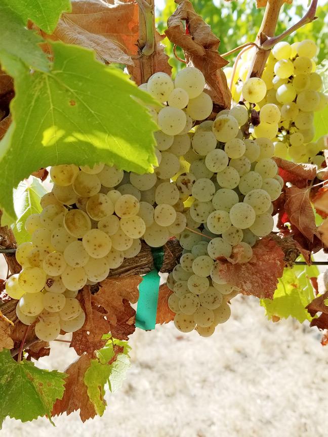 Ribolla Gialla Grapes