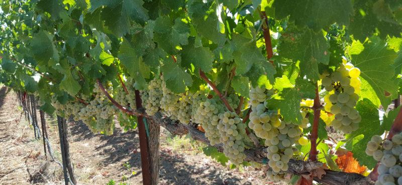 Premium Small Block Clements Hills AVA Grapes